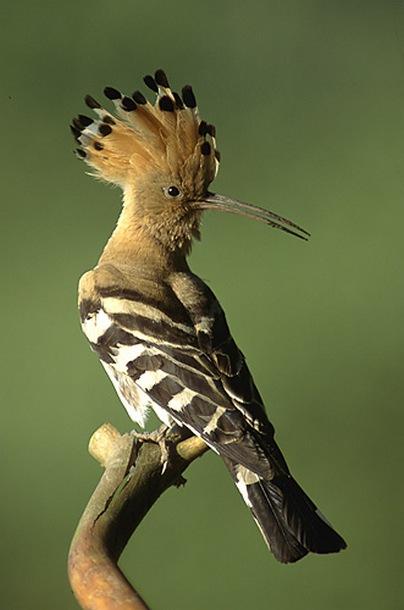 طائر الهدهد